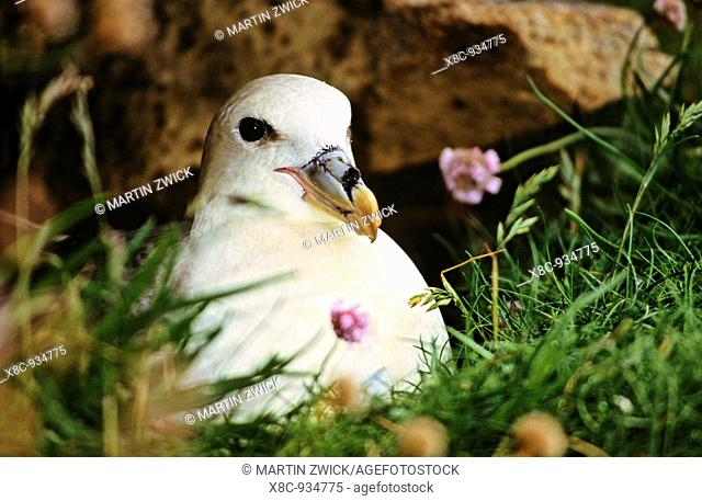 Northern Fulmar Fulmarus glacialis  The only speces of tubenoses in the northern hemisphere  The bird is known for the defence strategy to spit an oily fluid at...