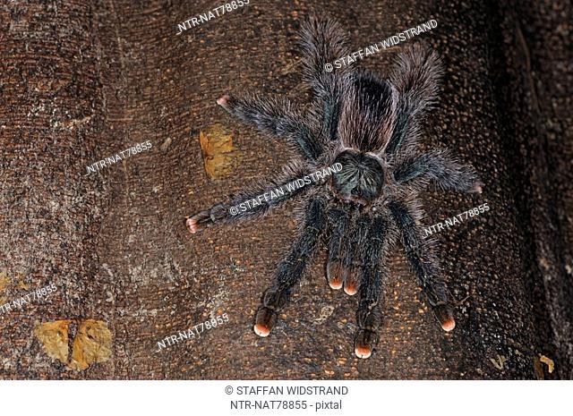 Tarantula spider, Rainforest orchid