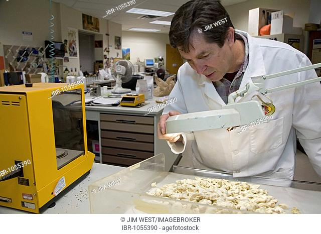 A worker inspecting a sample of ginger to check for mold in the lab at the Celestial Seasonings tea factory, Boulder, Colorado, USA