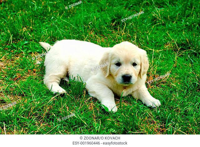 Golden retriever puppy in the grass