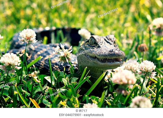 American alligator on the lawn among a flowering white clover