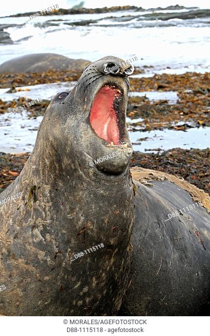 Southern Elephant Seal (Mirounga leonina). Sealion Island, Falkland Islands