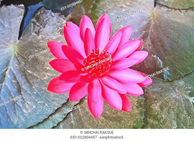 The beautiful Blooming lotus flower
