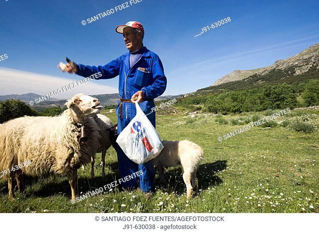 Shepherd with sheep in Sierra de la Cabrera, next to Cañada Real Segoviana and near Bustarviejo. 'Sierra Pobre'. Comunidad de Madrid. Spain