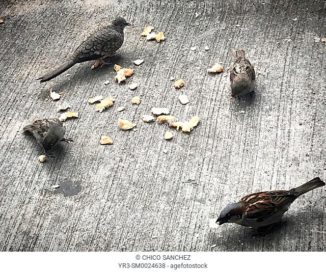 Sparrows and a wild pigeon eat bread in a coffee shop in Coyoacan, Mexico City, Mexico