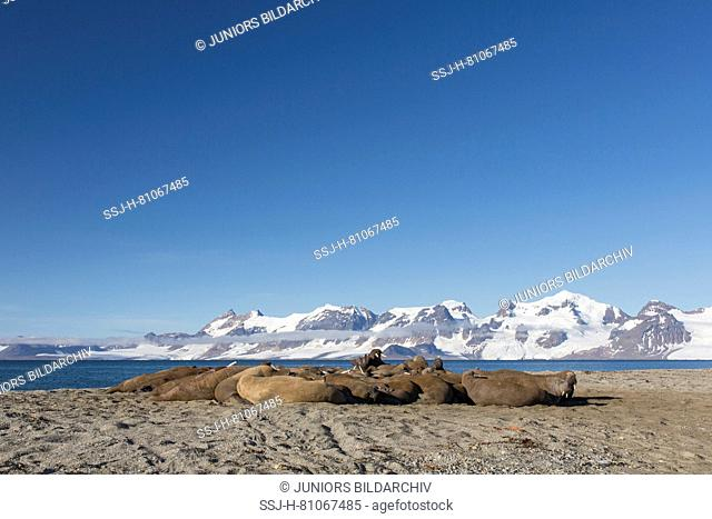 Atlantic Walrus (Odobenus rosmarus). Adult males resting on a beach. Svalbard, Norway
