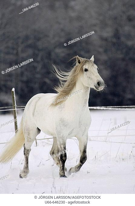 Lusitano horse in snow. Sweden