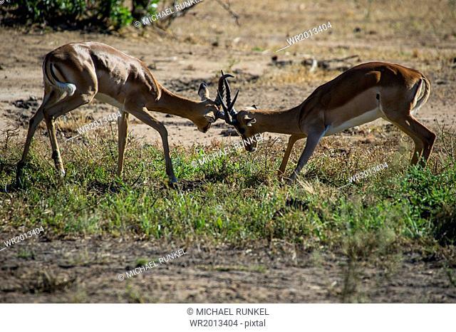 Impala (Aepyceros melampus) fighting in the Liwonde National Park, Malawi, Africa