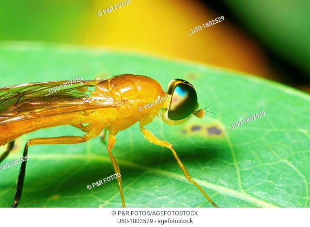 Soldier fly, Stratiomyidae, Diptera  2012