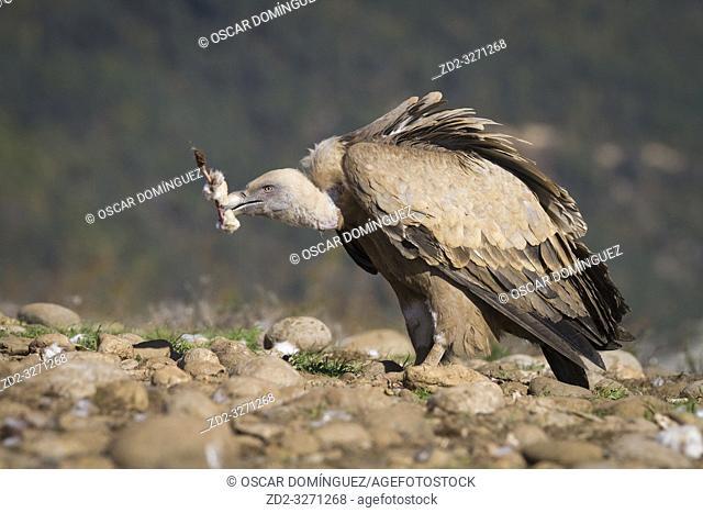 Griffon Vulture (Gyps fulvus) feeding. Lleida province. Catalonia. Spain