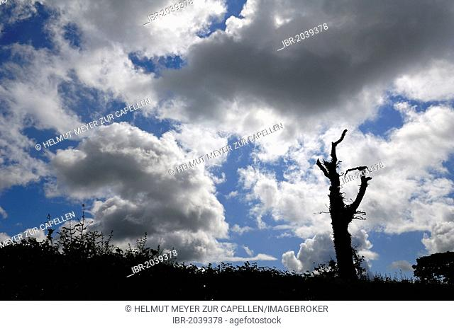 Silhouette of a dead tree against a cloudy sky, Cornwall, England, United Kingdom, Europe