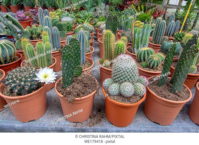 Cactus plants in pots from above. Spring garden series, Mallorca, Spain