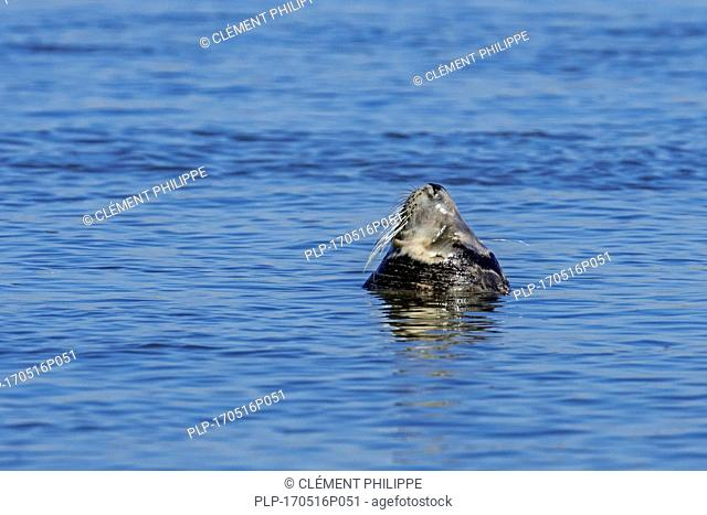 Young grey seal / gray seal (Halichoerus grypus) bottling / sleeping upright in sea