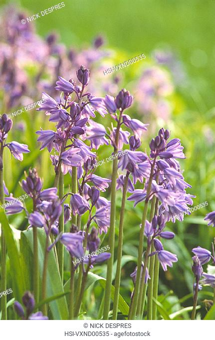 Environment & nature, Plants, flowering plants, Bluebells