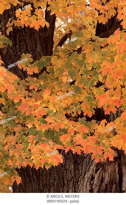 Sugar, Maple, in, autumn, White, Mountains, New, Hampshire, USA, Acer, saccharum