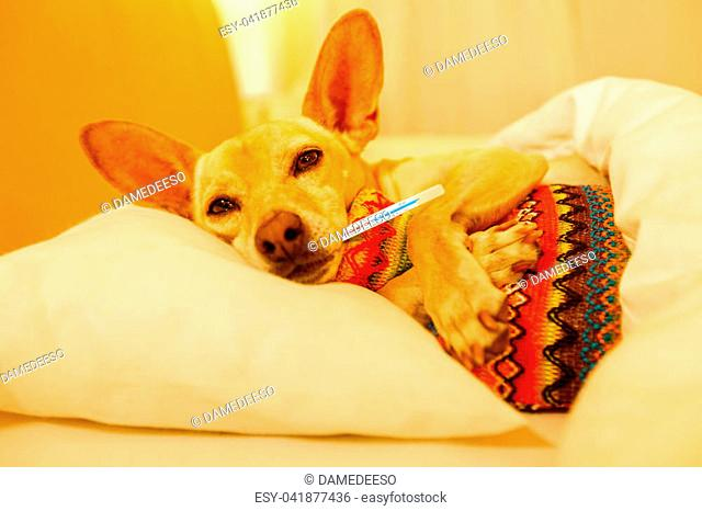 sick and ill chihuahua dog resting having a siesta or sleeping with thermometer and hot water bottl