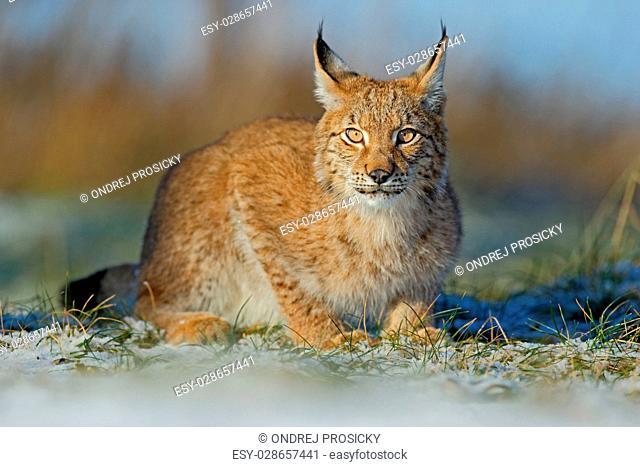 Portrait of cat Eurasian Lynx on snow in winter