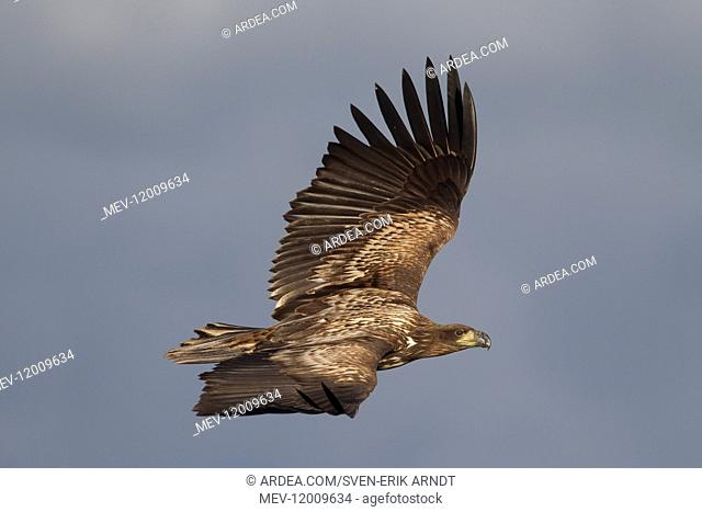 White-Tailed Eagle - young eagle in flight - Sweden