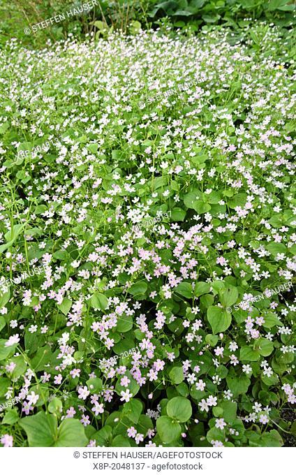 Siberian spring beauty Claytonia sibirica syn. Montia sibirica