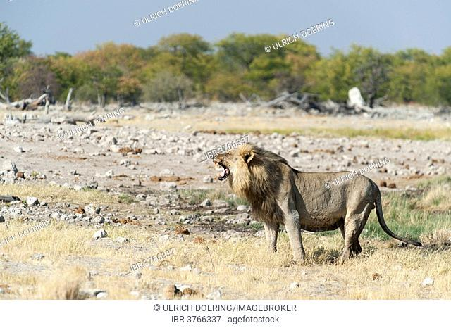 Lion (Panthera leo) sniffing the air, showing flehmen behavior, Etosha National Park, Namibia