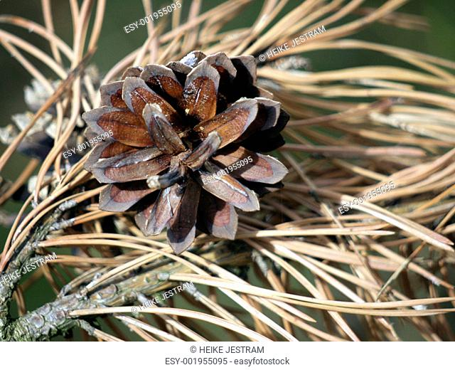 Pine cone on dry branches