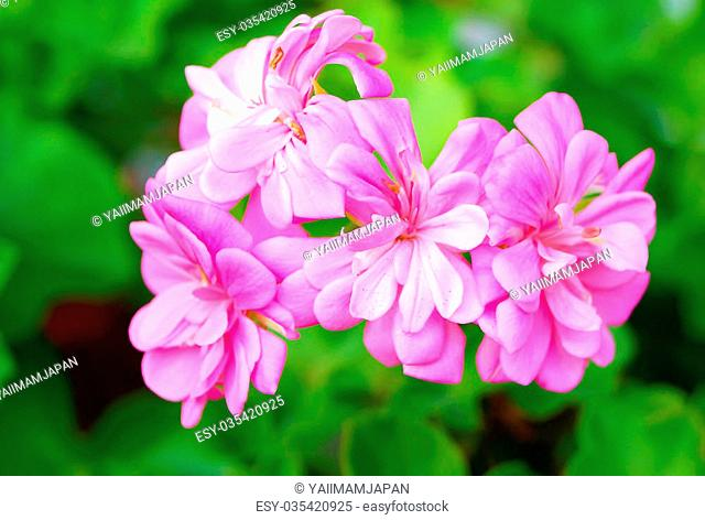 pelargonium grandiflorum Flower