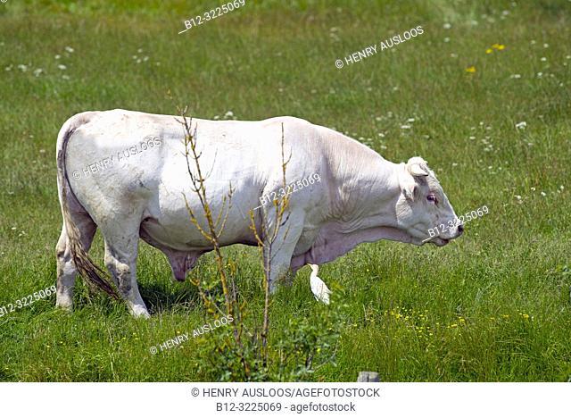 Charolais, Bull (Bos taurus), France