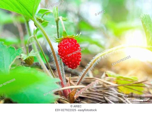 Wild strawberry berry growing in natural environment. Macro close-up