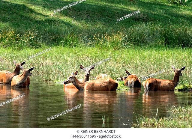Cooling, Cerviden, Cervus elaphus, local game, free living person animals, antlers, antler bearer, deer, deer, deer in the water, hoofed animals, red deer