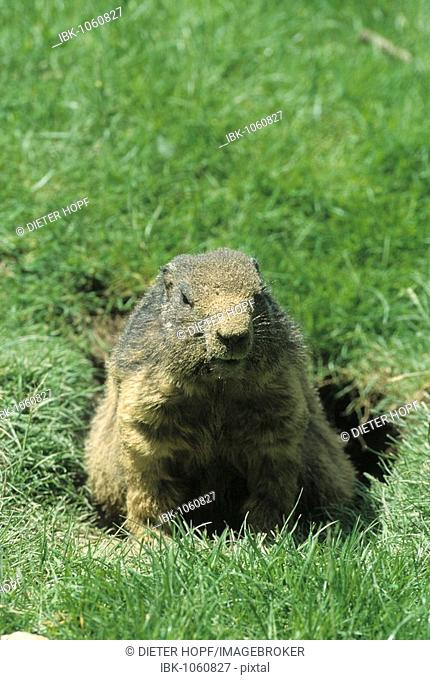 Alpine Marmot (Marmota marmota), with sand in its fur from digging, Allgaeu Alps, Germany, Europe