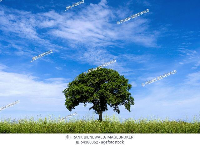 Single tree on a field and blue sky, Val d'Orcia, Tuscany, Italy