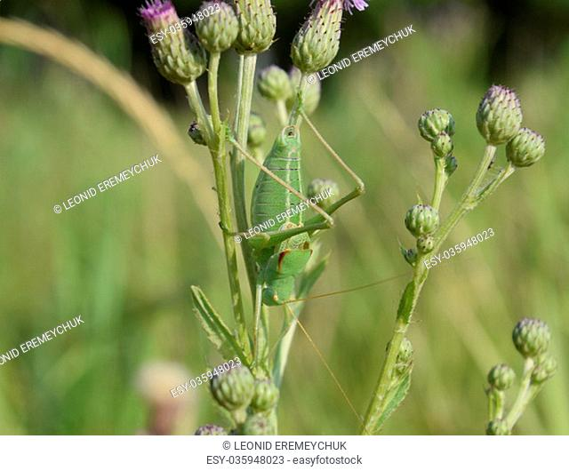 Isophya on the stems of the tubercle. Wingless grasshopper Isophya