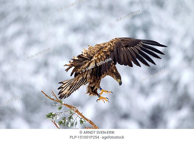 Banded White-tailed Eagle / Sea Eagle / Erne (Haliaeetus albicilla) juvenile landing in spruce tree in the snow in winter