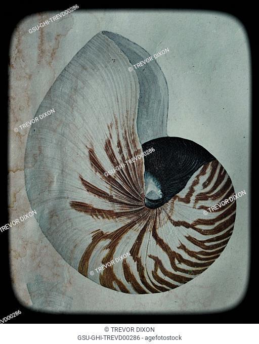 Nautilus Shell