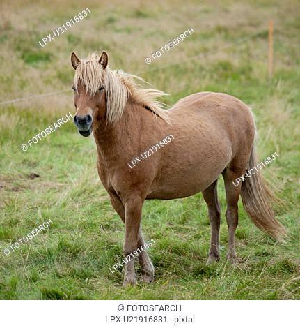 Icelandic horse in pasture
