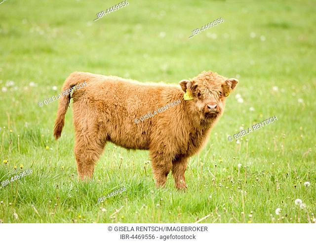Highland Cattle (Bos taurus), calf on a pasture, Scotland, United Kingdom