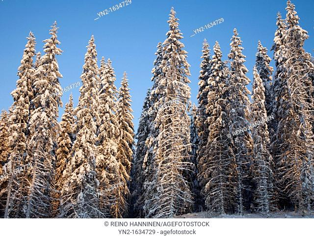 Snowy spruce trees, picea abies, in the forest at Winter  Location Suonenjoki Finland Scandinavia Europe EU