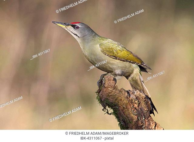 Grey-headed or grey-faced woodpecker (Picus canus), male perched on tree root, North Rhine-Westphalia, Germany