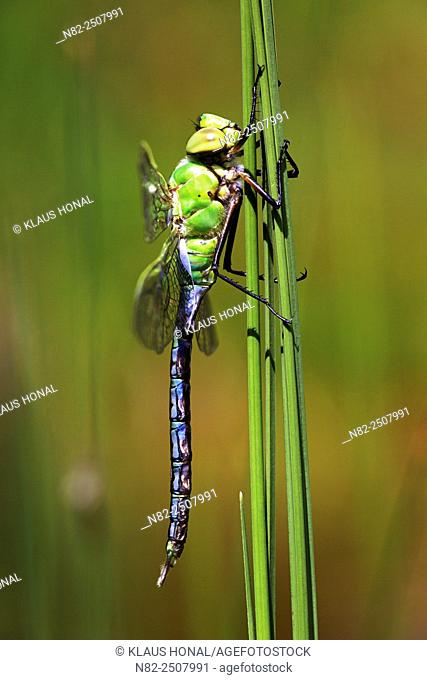 Emperor Dragonfly Anax imperator after metamorphosis on aquatic plant - Germany