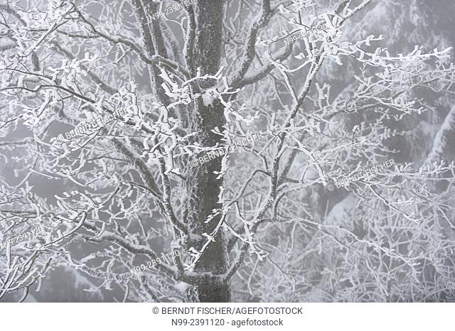 Maple in hoar frost, National Park Bayerischer Wald, Bavaria, Germany