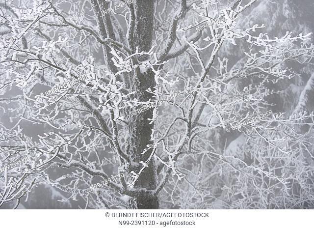 Maple in hoar frost, National Park Bayerischer Wald, Bavaria, Germany