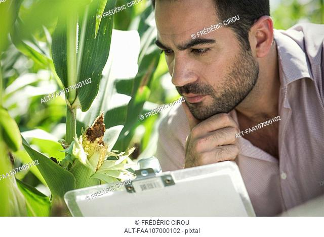 Inspector inspecting maize crop in field
