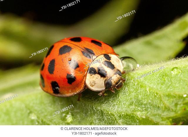 Multicolored Asian Lady Beetle Harmonia axyridis, West Harrison, Westchester County, New York, USA