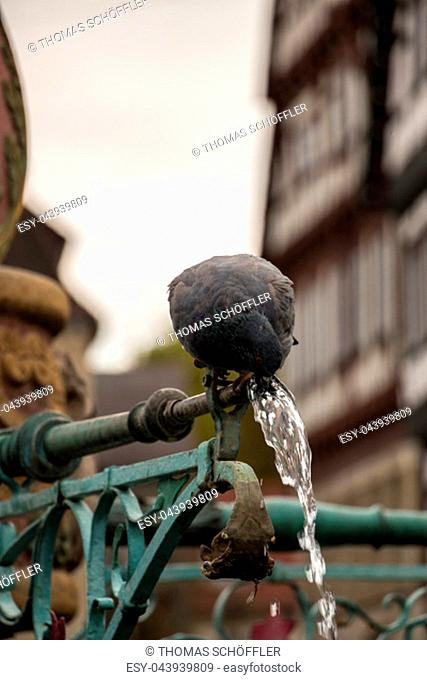 Drinking, drink, pigeon, fountain, old houses, historical houses, bird