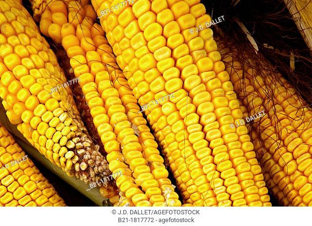 Harvest of a corn field at Villefranche-de-Lonchat, Dordogne, Aquitaine, France