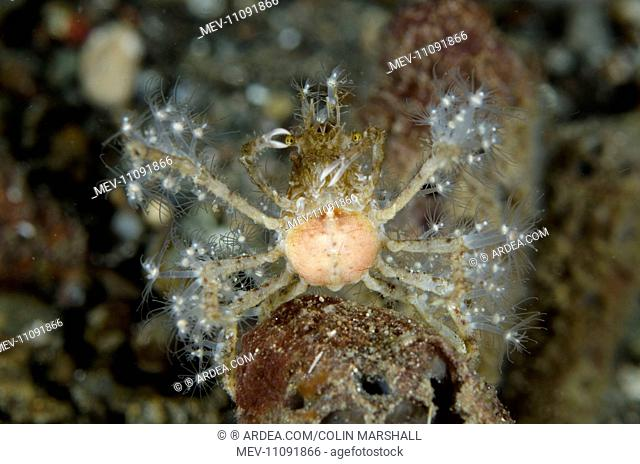 Decorator Crab with anemones