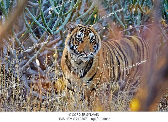 India, Rajasthan state, Ranthambore National Park, Bengal tiger (Panthera tigris tigris), young one year old