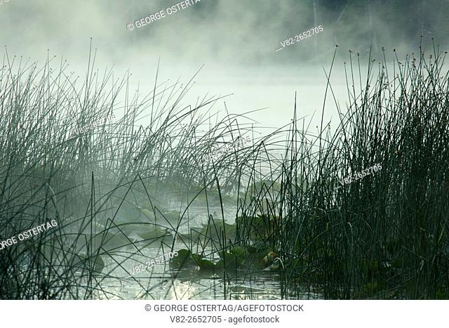 Hosmer Lake bulrushes in mist, Cascade Lakes National Scenic Byway, Deschutes National Forest, Oregon