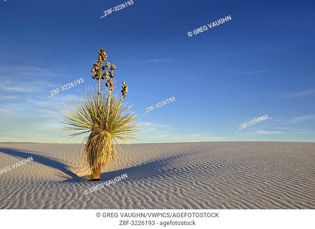 Yucca on sand dune, White Sands National Monument, New Mexico