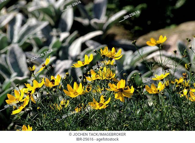 DEU, Germany: plants, tickseed moonbeam (Coreopsis verticillata)